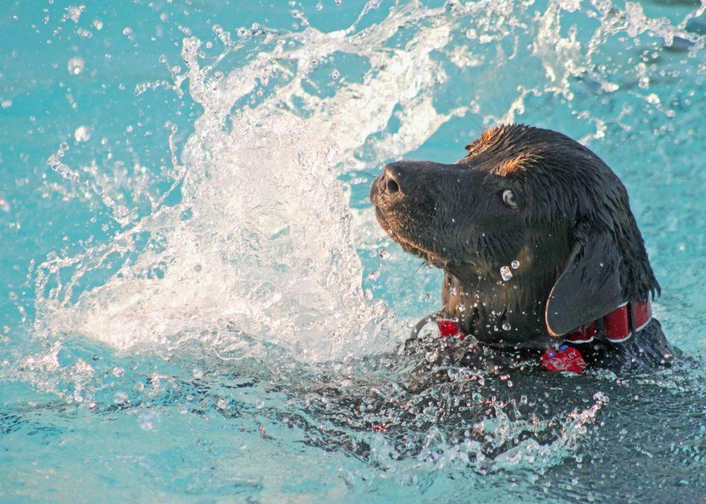 dog learn swimming